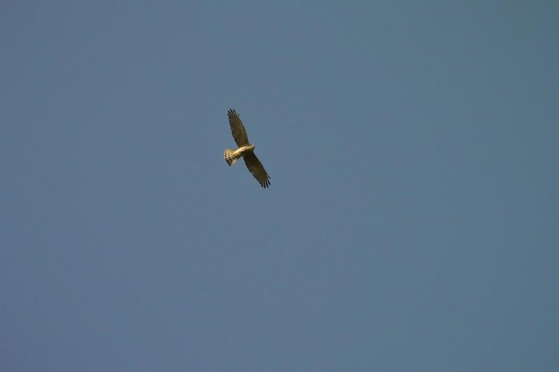 大町自然観察園のサシバ