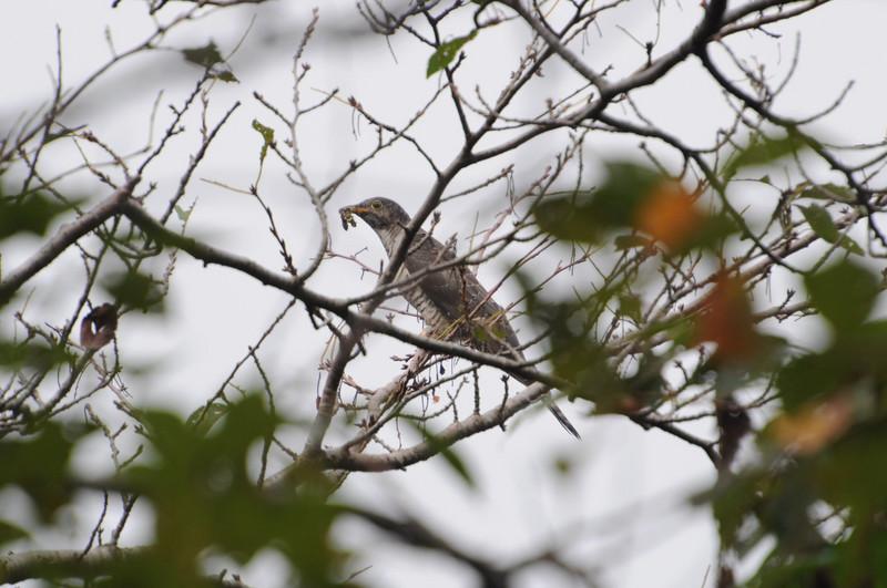 あけぼの山公園のツツドリ