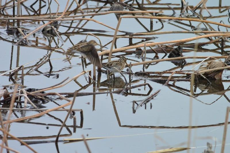 手賀沼のタシギ
