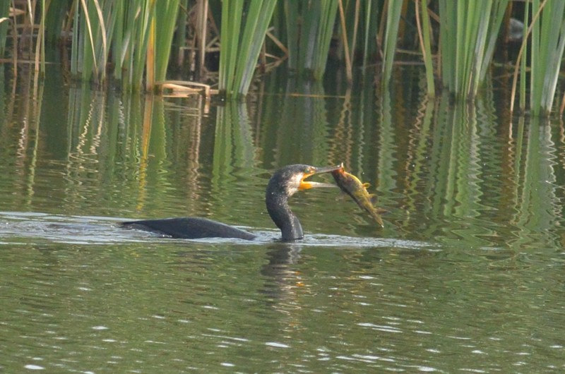 手賀沼のカワウ