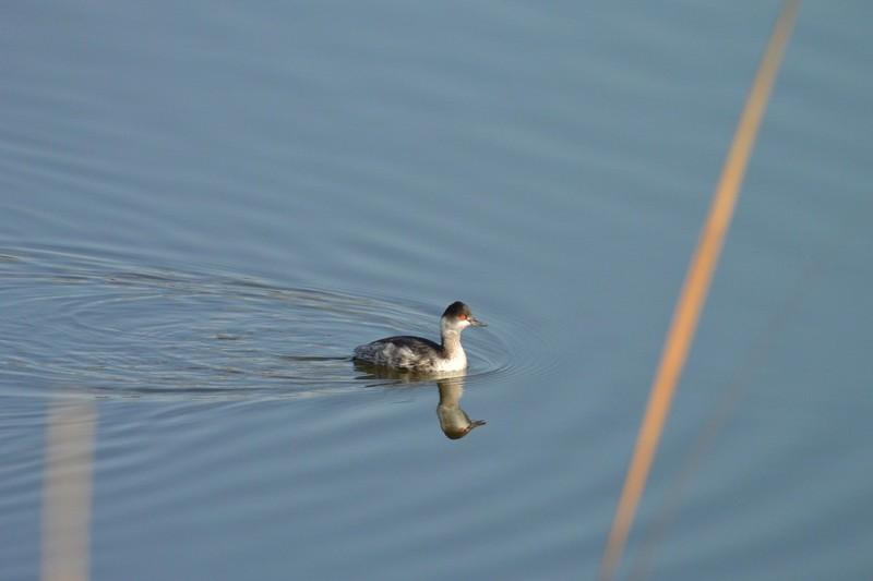 手賀沼のハジロカイツブリ