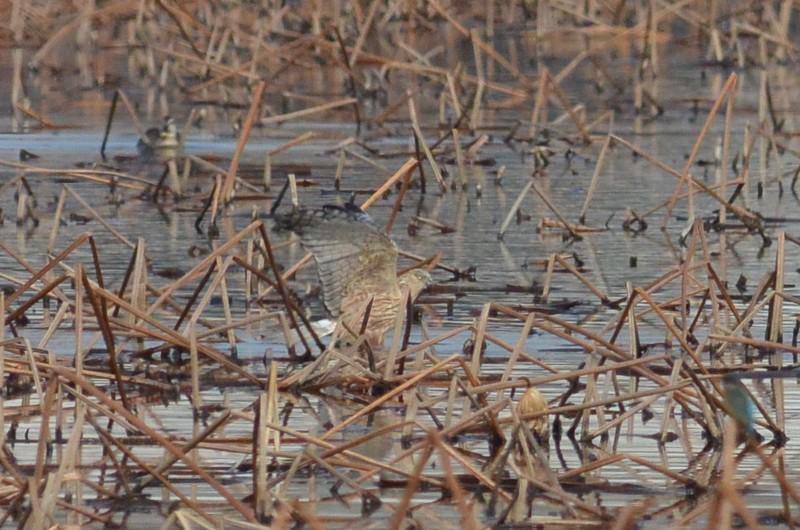 手賀沼のチュウヒ