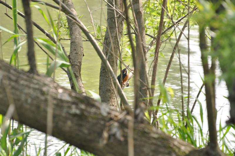 手賀沼のカワセミ