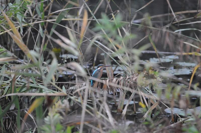 酒井根下田の森のカワセミ