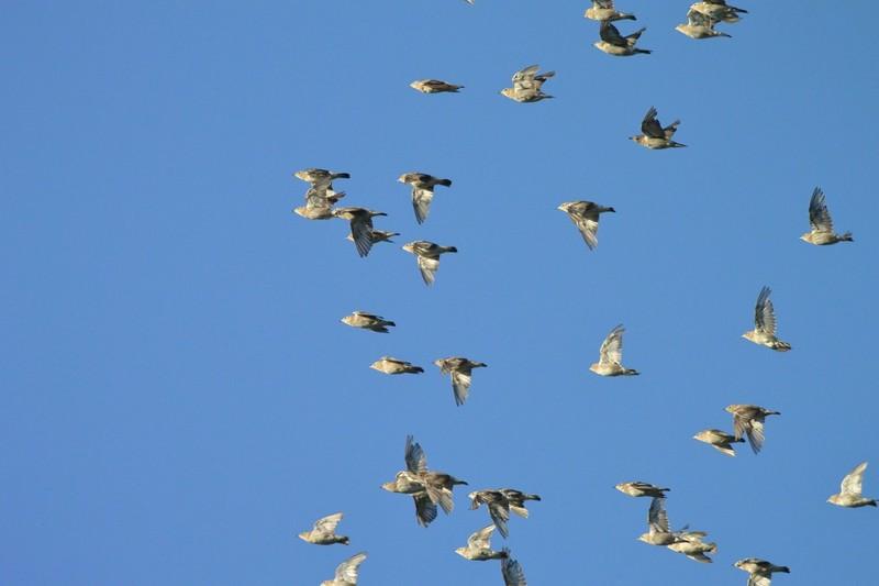 手賀沼のコムクドリ
