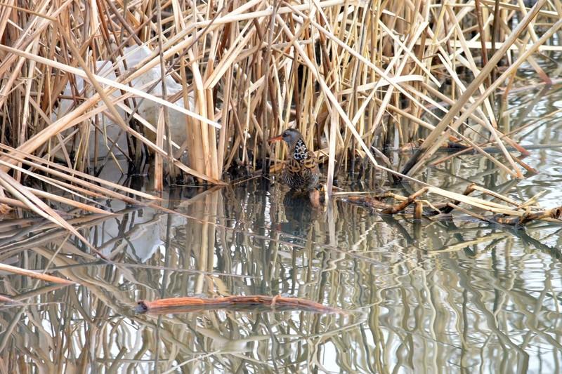 手賀沼のクイナ
