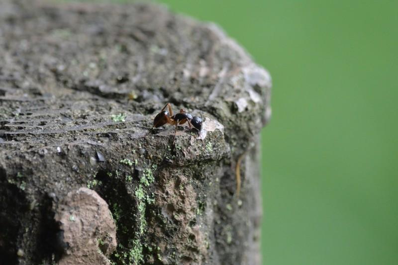 大町自然観察園のアリ