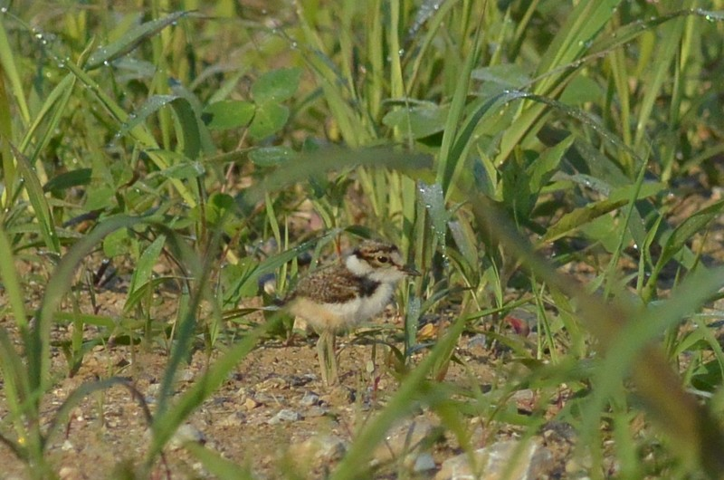 手賀沼のコチドリ