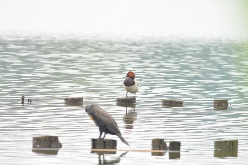 手賀沼のホシハジロ