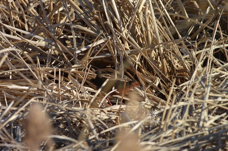 手賀沼のヒクイナ