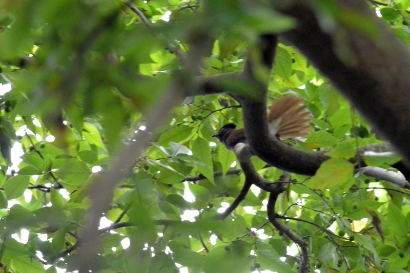 霊園のサンコウチョウ
