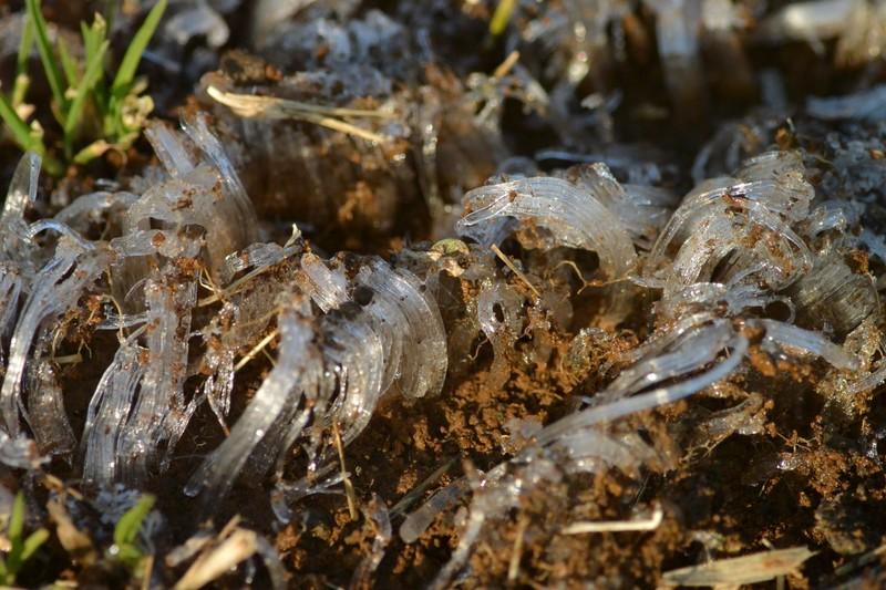 手賀沼の霜柱