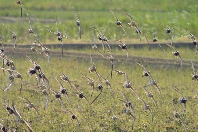 手賀沼のムナグロ