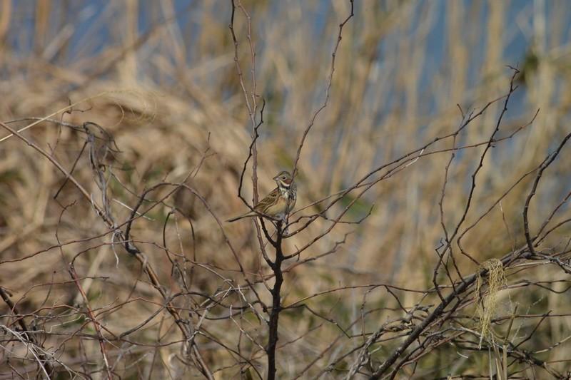 手賀沼のホオアカ