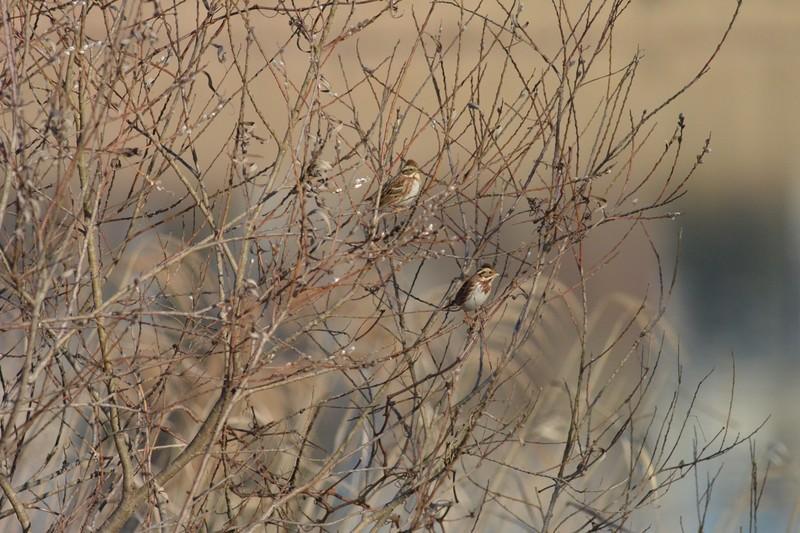 手賀沼のカシラダカ