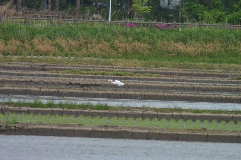 手賀沼のチュウサギ