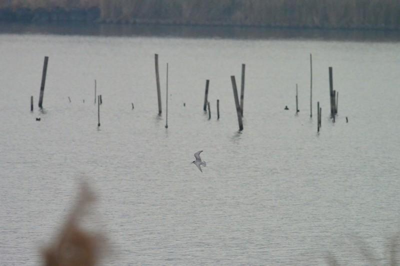 手賀沼のクロハラアジサシ