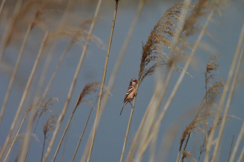 手賀沼のベニマシコ