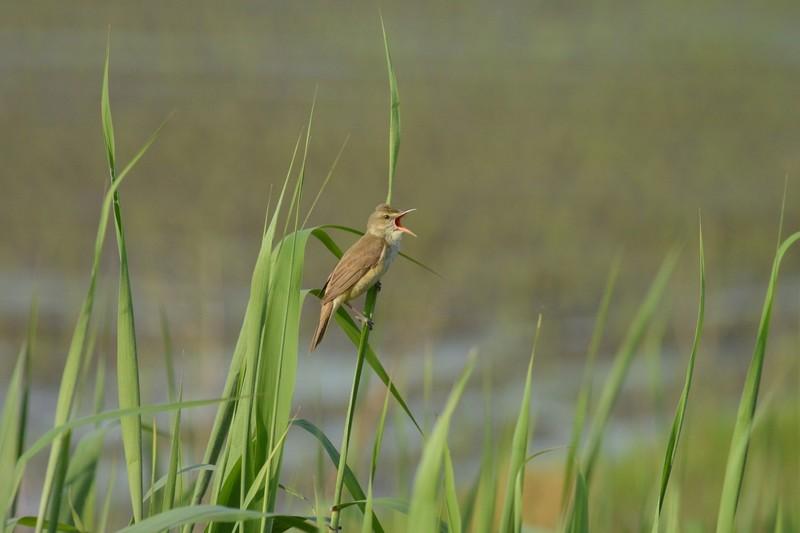 手賀沼のオオヨシキリ