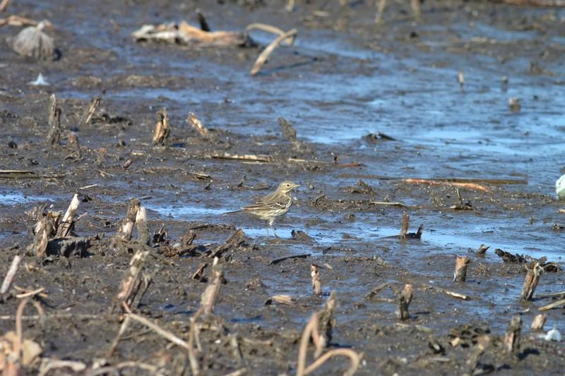 手賀沼のタヒバリ