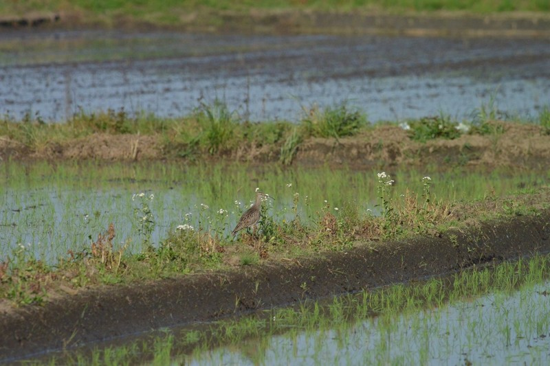 手賀沼のチュウシャクシギ