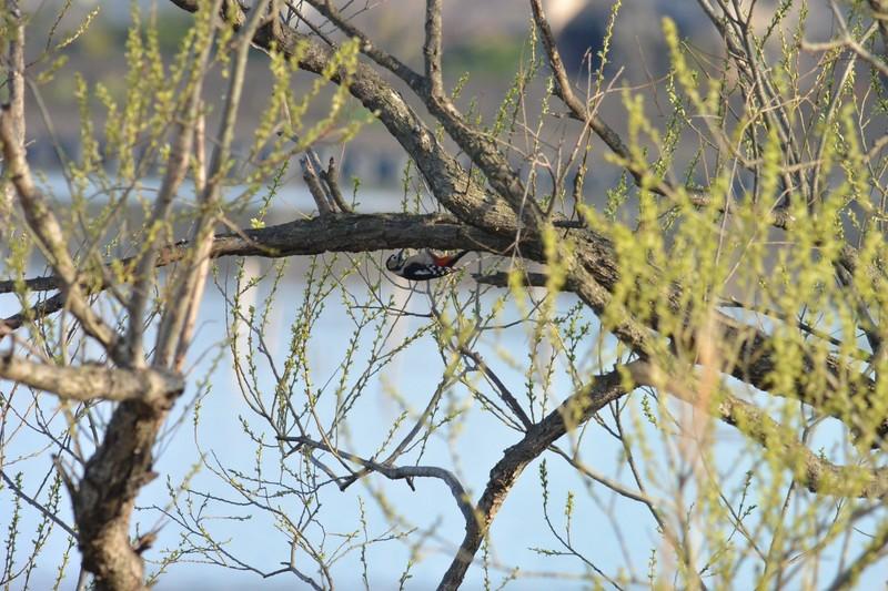 手賀沼のアカゲラ