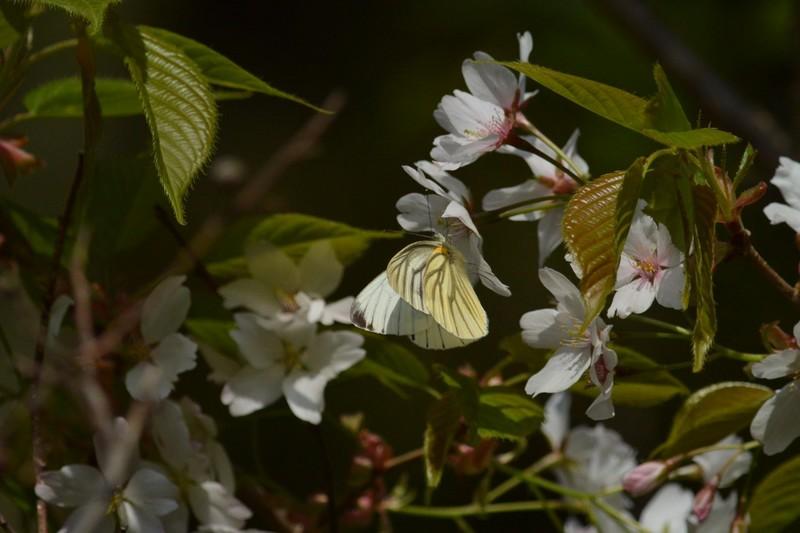 大町自然観察園のスジグロシロチョウ