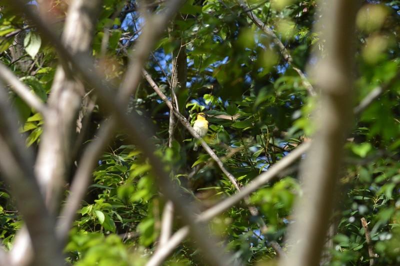 大町自然観察園のキビタキ