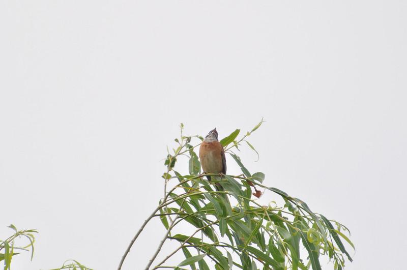 手賀沼のホオジロ