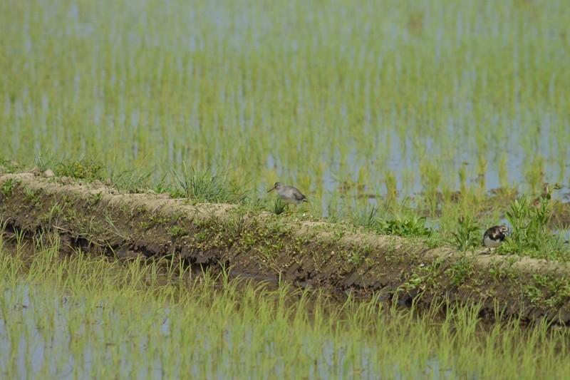 手賀沼のキアシシギ